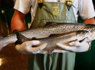 Genetically engineered salmon approved for consumption