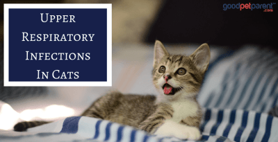Upper Respiratory Infections In Cats Feature Image
