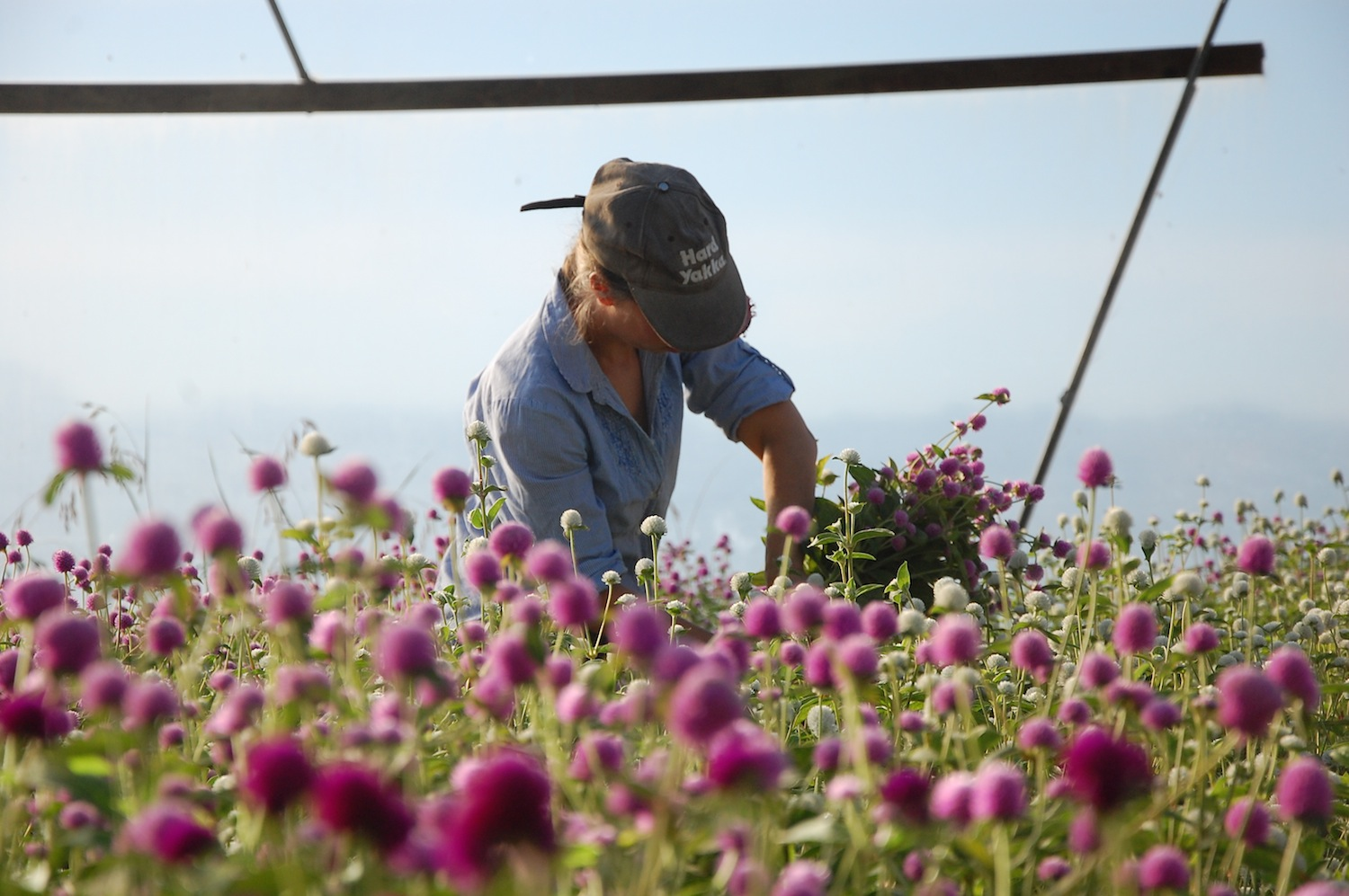picking gomphrena
