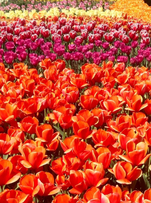Keukenhof Tulip Gardens, Netherlands