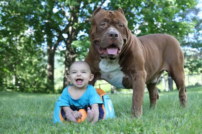 giant-pit-bull-hulk-the-newborn-baby-2