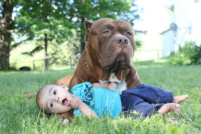giant-pit-bull-hulk-the-newborn-baby-5