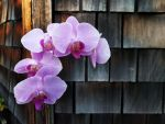 orchid.0