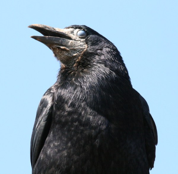 rook showing nictitating membrane