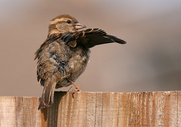 female sparrow drying off