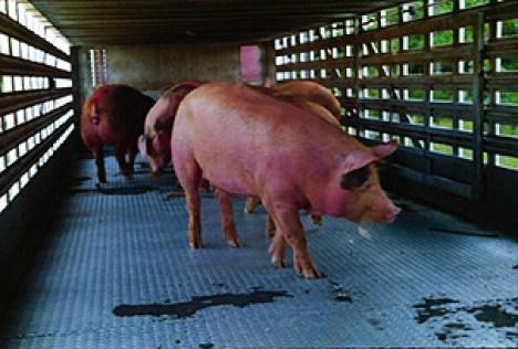 Resultado de imagen de piel porcinas y bovinas.