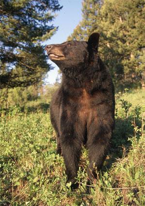 bear hunting sign