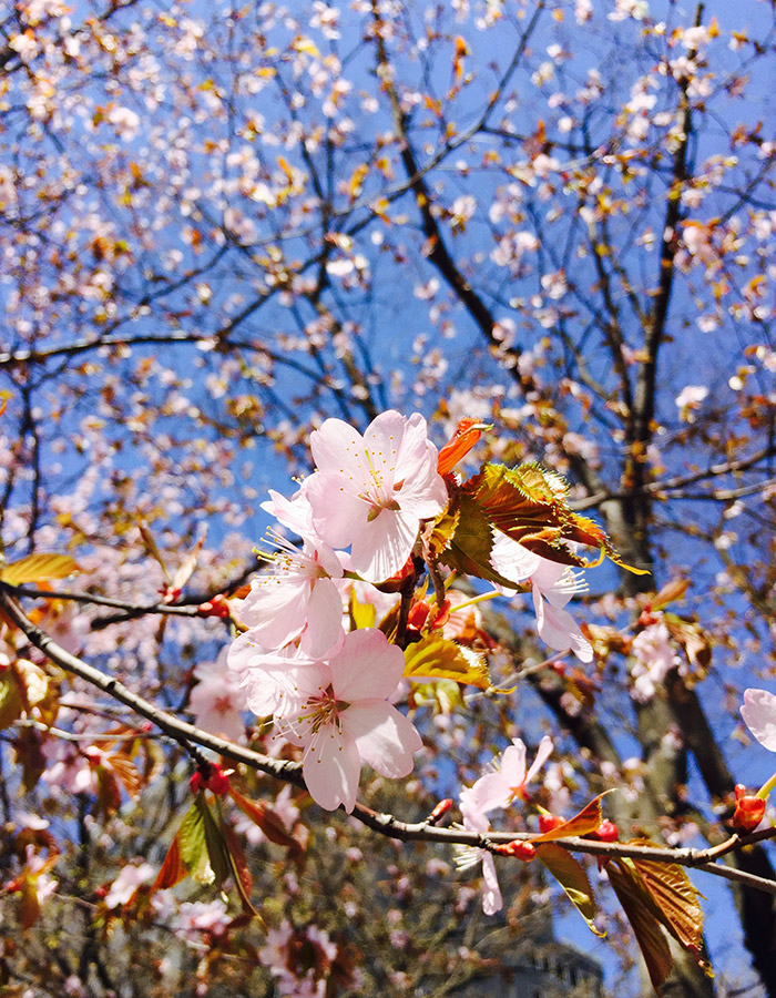 Cherry blossoms in full bloom in Hokkaido