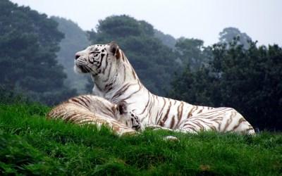 Fondos de tigres, Imágenes de tigres, fotos y wallpapers en HD