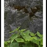 Grande ortie – Urtica dioica