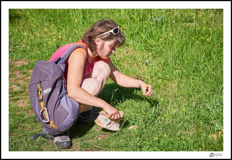 GC - escalade medicinale - cueillette - lotier corniculé lotus corniculatus - ivan olivier photographies (12)