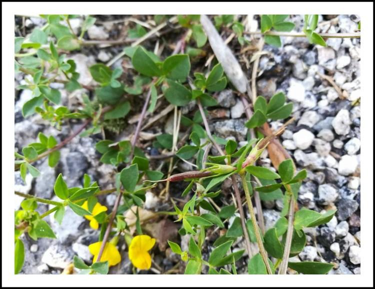 GC - escalade medicinale - cueillette - lotier corniculé lotus corniculatus - ivan olivier photographies (7)
