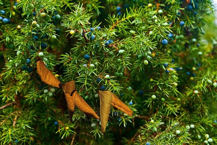 GC - cueillette au pied des voies - Juniperus communis pixabay uroburos