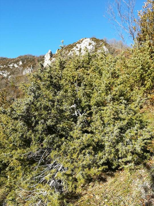 GC - cueillette au pied des voies - genévrier - juniperus communis 3
