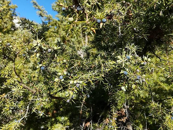 GC - cueillette au pied des voies - genévrier - juniperus communis 4
