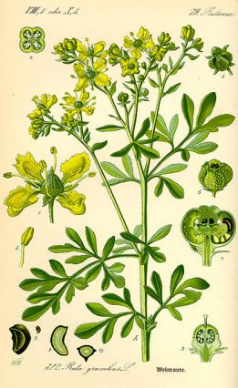 GC-Herbier Ruta graveolens - rue officinale