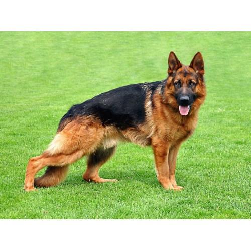 Medium Crop Of German Dog Breeds