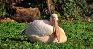 white-pelican-272111_640