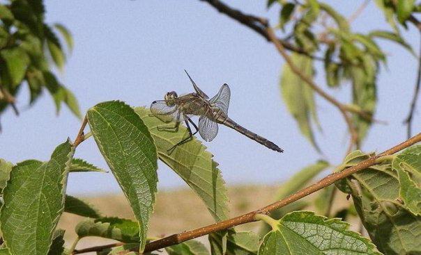 Dragonfly on Corfu