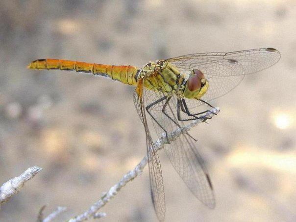 Orange-yellow dragonfly on Corfu