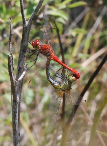 Dragonfly sex on Corfu