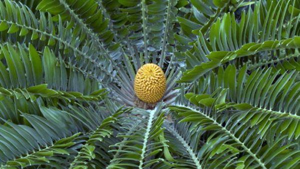 Encephalartos woodii