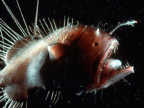 The Anglerfish,