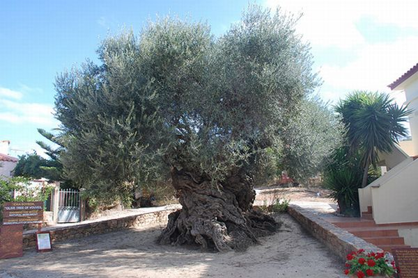 The Olive Tree of Vouves Crete