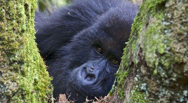 Rwanda Mountain Gorilla framed in a fork of a tree
