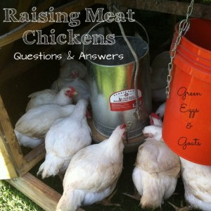How to Raise Broiler Chickens Q&A part 3