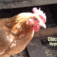 Chicken Hygiene - Suburban Food Farm Video