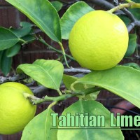 Growing Citrus in Temperate Zones