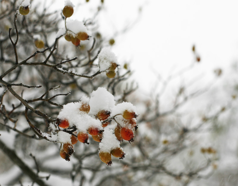 Snowy rose hips just outside our window in the centre of stockholm