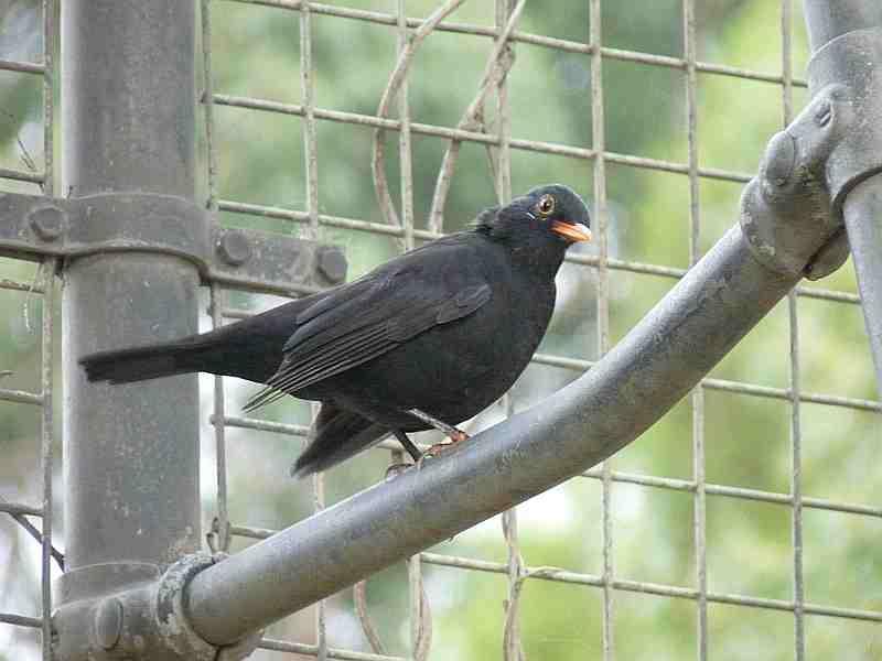 Eurasian Blackbird in Melbourne