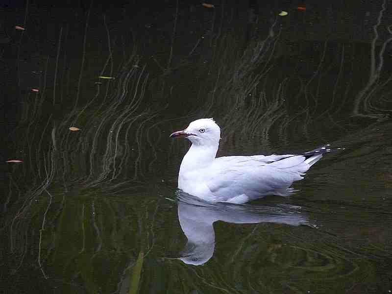 Silver Gull in Melbourne