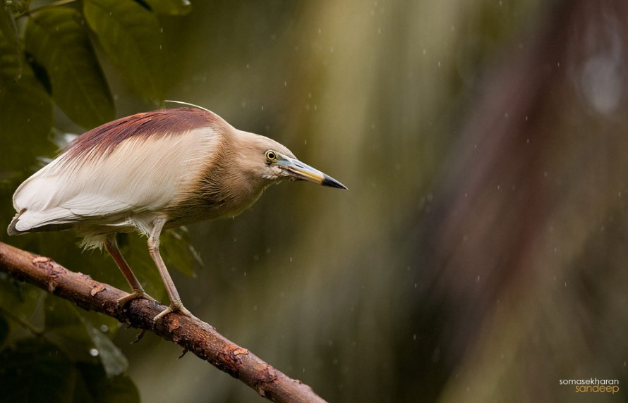 A male pond heron (Ardeola grayii) gets a stylish red mane , during the monsoons, as it develops its breeding plumage.