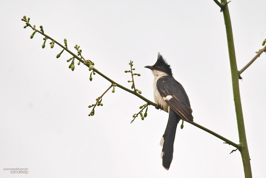 The Harbinger: Pied cuckoos (Clamator jacobinus) are monsoon migrants, who generally arrive in India a few days before monsoons. In South India however, it is a resident.
