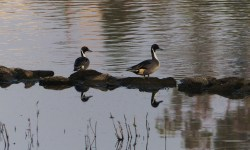 NorthernPintail-GO-1