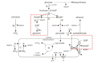 yeast-fermentation-schematic.jpg