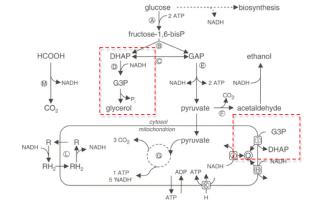 yeast-fermentation-schematic.jpg