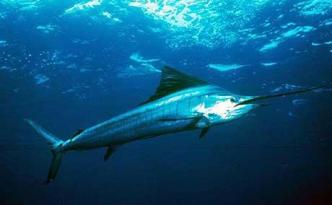 Contaminated_Swordfish