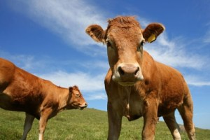 Cows and Methane 300x200 Dow's Methane Challenge Seeks Transformation of Greenhouse Gas into Useful Chemicals