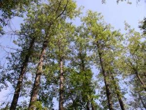 52278 web 300x225 Study Finds How Trees Adapt to Climate Change