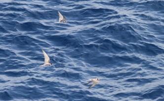 Black-Terns-1-Tropical-Atlantic-Ocean-27-Sep-2012