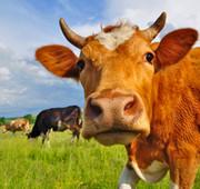 McDonalds Cow