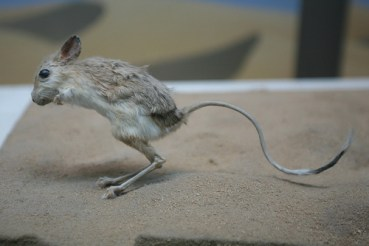 Why Israeli Rodents Are More Cautious Than Jordanian Ones