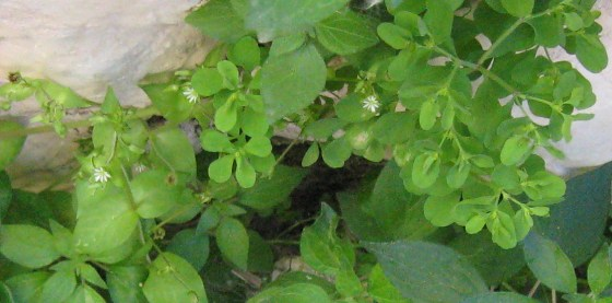 chickweed cultivate grow at home