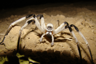 """Leggy"" New Spider Found in the Sands of Samar, the Largest in the Middle East"