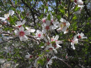 RECIPE: Almond Blossom Liqueur