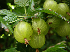 An Organic Gooseberry Bush